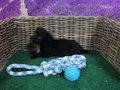kruising keeshond+teckel pup