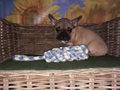 franse bulldog pup