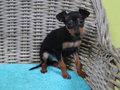 pincher pup