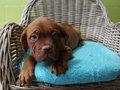 bordeauxdog pup