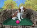 cavalier king charles spaniel pup