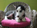 siberische husky pup