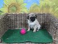 mopshond pup