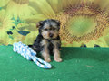 yorkshire terrier pup
