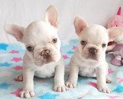 Prachtige 4 zijn Franse Bulldoggen