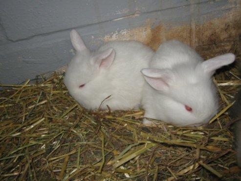 Dieren te koop zeer mooie dwergkonijnen met hangooren for Mooie spiegels te koop