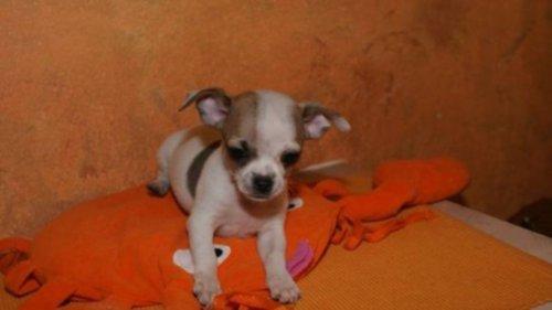 Dieren zeer mooie mini chihuahua pup 39 s te koop for Mooie spiegels te koop